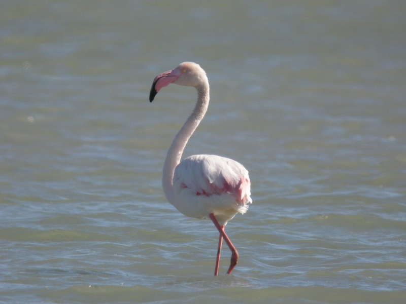 Flamant rose 37.jpg