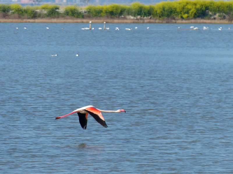 Flamant rose 42.jpg