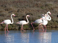 Flamant rose 49