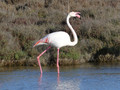 Flamant rose 50